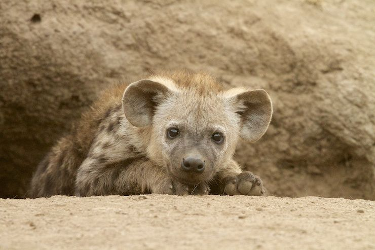 Baby-Spotted-Hyena.jpg