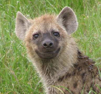 Happy-Hyena-hyenas-31563531-385-358.jpg
