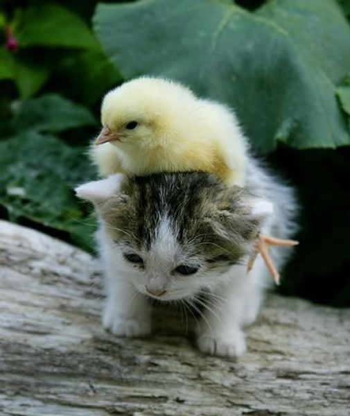 kitty-gives-baby-chick-a-piggy-back-ride.jpg