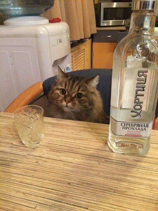 kot wodka.jpg
