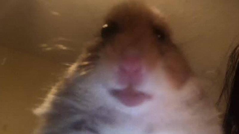 staring hamster.jpg